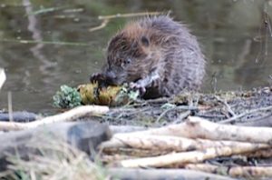 Young beaver at Bamff