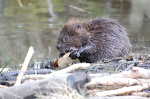 Young beaver at Bamff