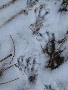 Beaver prints in snow