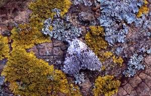 puss moth