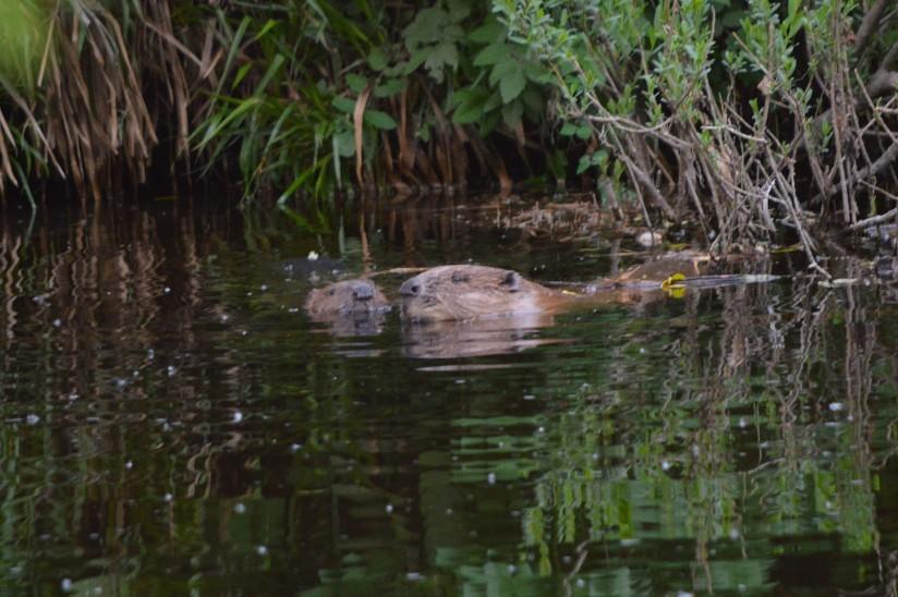 beavers-nuzzling1.jpg