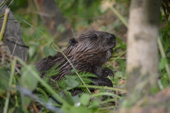 Scottish Beaver Kit Photograph by Rhona Forrester